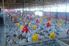 CSR_BIB_Chicken_farm